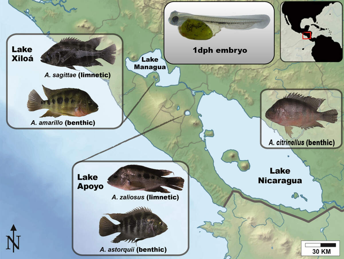 The Midas cichlid fish from the crater lakes of Nicaragua are one of the the best known examples for sympatric speciation. They evolved from a source population into a variety of independent species in less than 22,000 years.