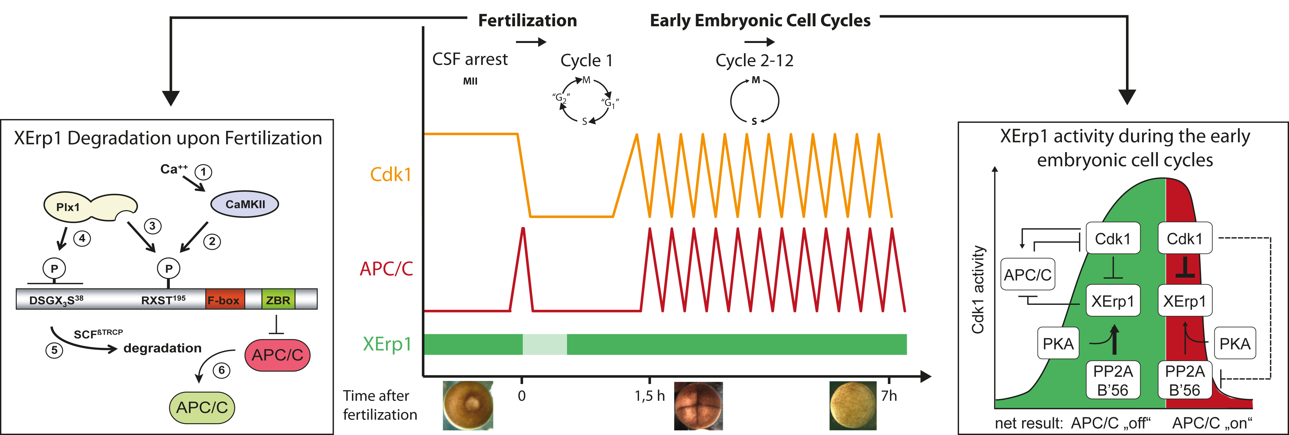 research papers regulation cell cycle To determine if there is a difference in cell cycle length between these differentiated, neurogenic progenitor cells in the central retina and the undifferentiated, preneurogenic progenitor cells in the periphery during development, we used two brdu injections.