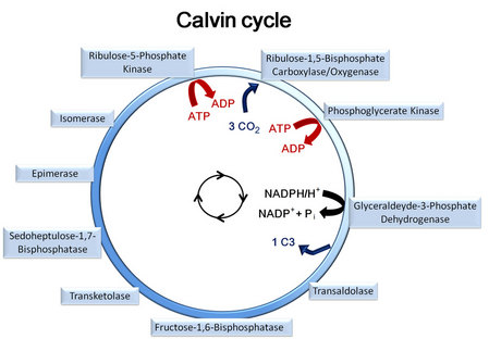 Calvin Cycle In Phaeodactylum Current Projects Projects